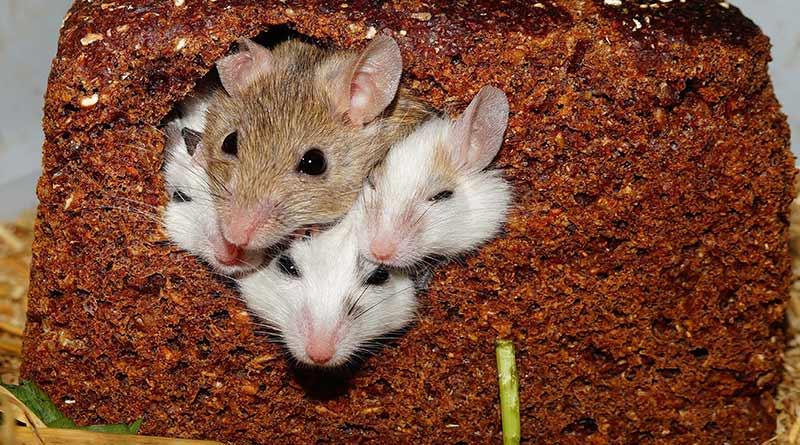 Keto diet, mice & diabetes